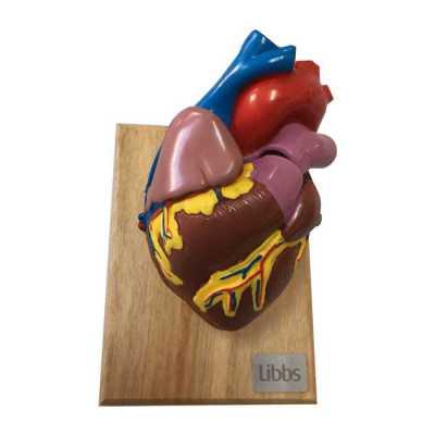 labor-brindes - Modelo Anatômico Coração